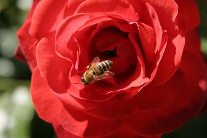 Le signal rouge des fleurs attirent les abeilles