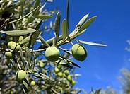 La verdale, l'un des trésors du Lubéron